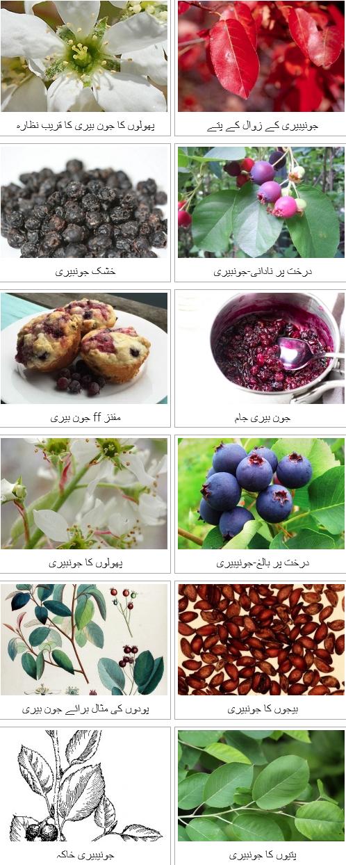 جون بیری کے صحت سے متعلق فوائد  Juneberry ke sehat se mutaliq fawaid