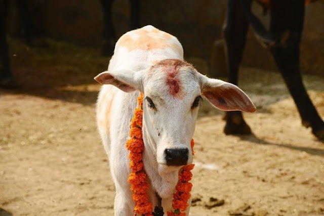 Man arrested for injuring pregnant cow by feeding explosive-mixed eatables in Himachal Prades