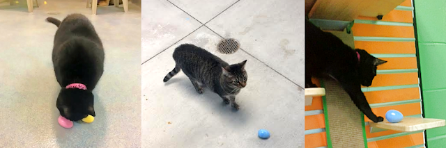Shelter cats playing with plastic egg enrichment toys