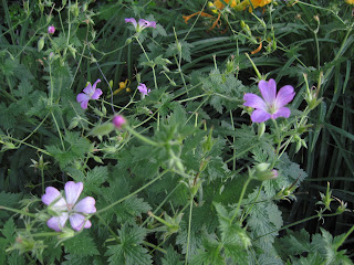Pale purple flowers with five petals vaguely shaped like hearts.