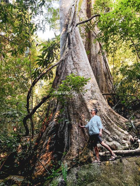 Pokok Medang di Royal Belum