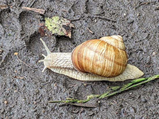Roman or Burgundy snail on Widford bridleway 19