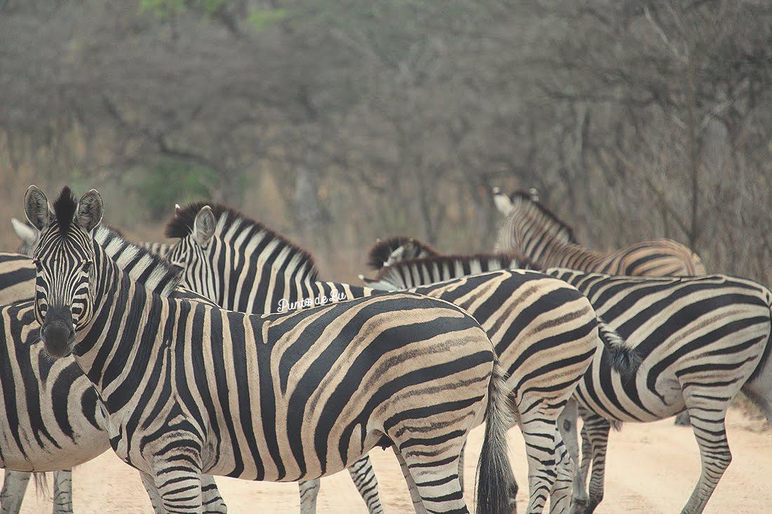 Cebras sudafricanas