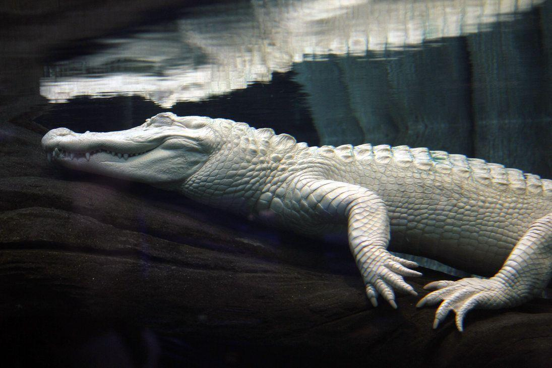Leucistic alligator Image HD Wallpapers Download Logo And Photo HD