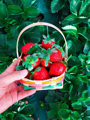 STRAWBERRIES BENEFITS, NUTRITION & RISK