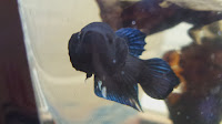 Betta Fighter A Grade
