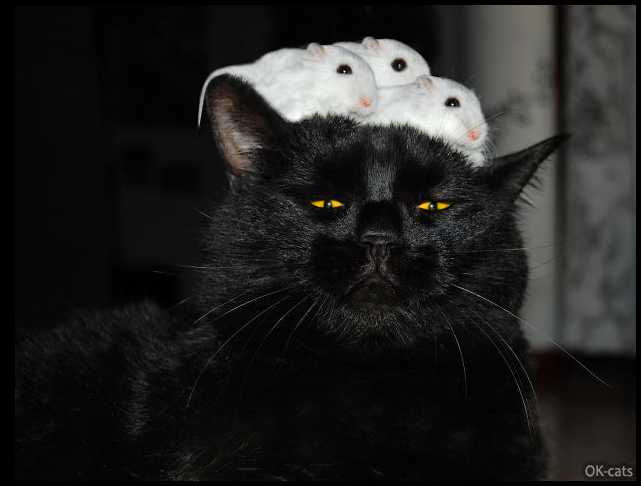 Photoshopped Cat Picture • Funny back cat with 3 mice on head. Epic predatory instinct FAiL, haha!