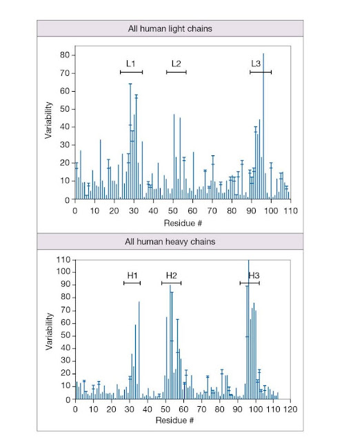 Amino acid variability in the V domains of human Ig heavy and light chains