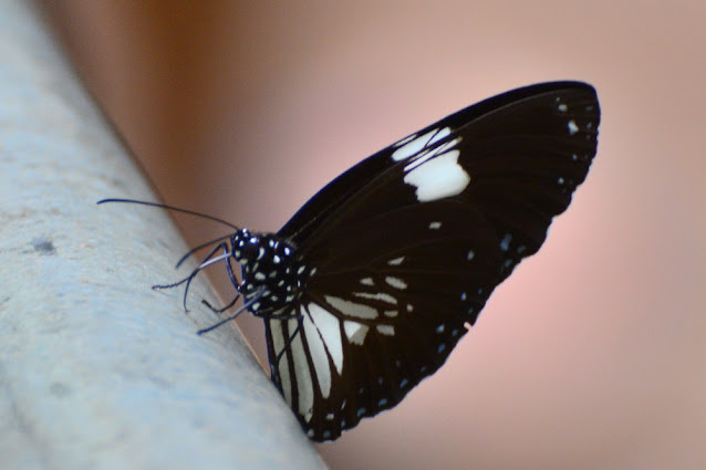 Euploea radamanthus