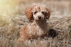 Poodle lower classification-Toy poodle