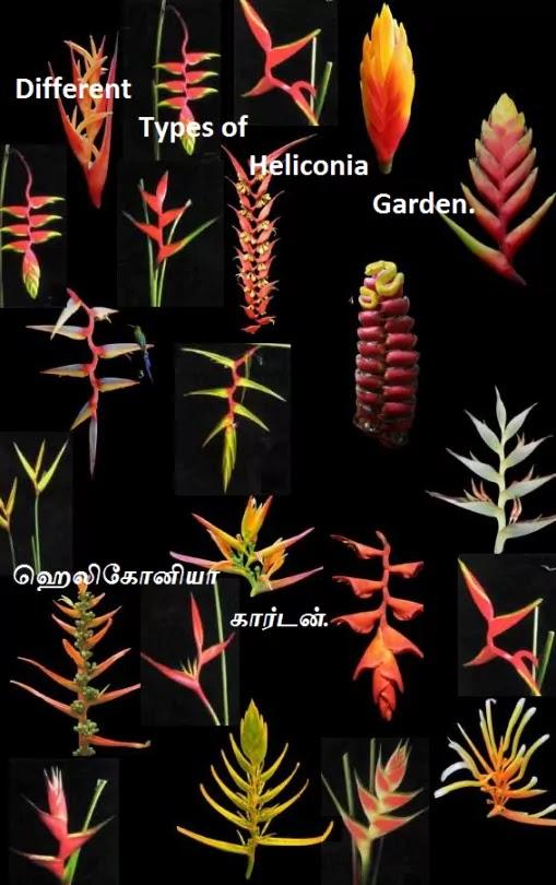 ஹெலிகோனியா கார்டன் - Different Types of Heliconia Garden.