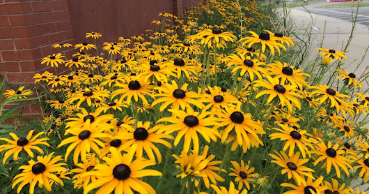 The Brown Eyed Susan's are Flowering in Abundance on Long Island... ~ Long Island Daily Photo | Lily Hydrangea