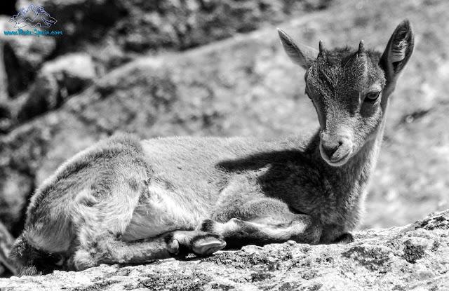 Cria de ejemplar de cabra ibérica en gredos por rutaspain