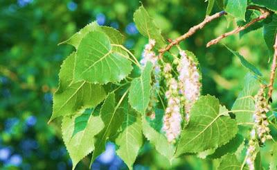 Necklace Poplar Tree