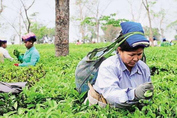 Tea Board cautions Darjeeling tea gardens of stringent action if found violating GI norms
