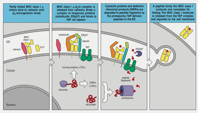 """MHC molecules transport proteins to cell surface (Source: K. Murphy, """"Immunology"""")"""