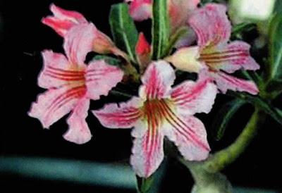 Mini lily adenium