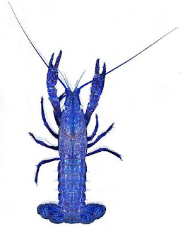 Marbled crayfish with colours inverted so it appears blue