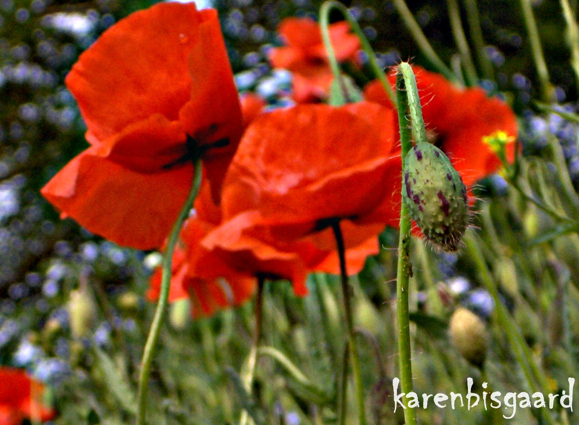Karens Nature Photography Poppy Flower Bud In Front Of Blooming