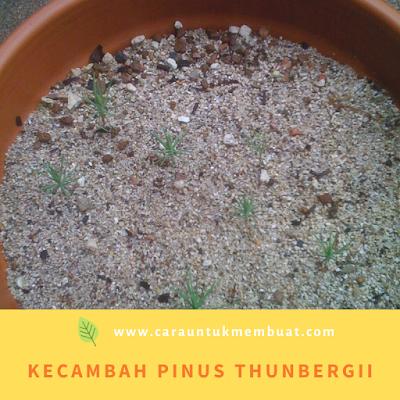 Kecambah Pinus thunbergii