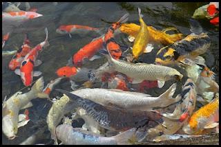 Cara Memilih dan Merawat Ikan Koi Di Kolam Terbuka