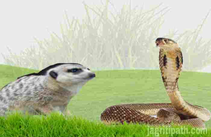 mongoose snake fight