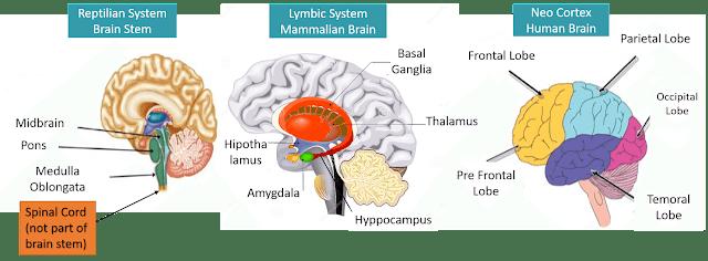 human brain main parts, human brain statistics, how our brain works, amygdala, neocortex, hypocampus, hippothalamus, what happens when we sleep