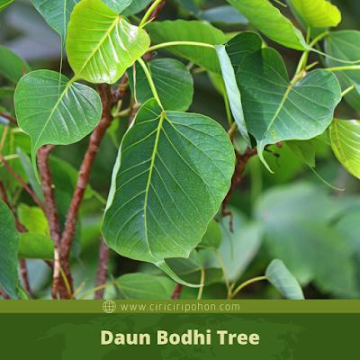 Daun Bodhi Tree