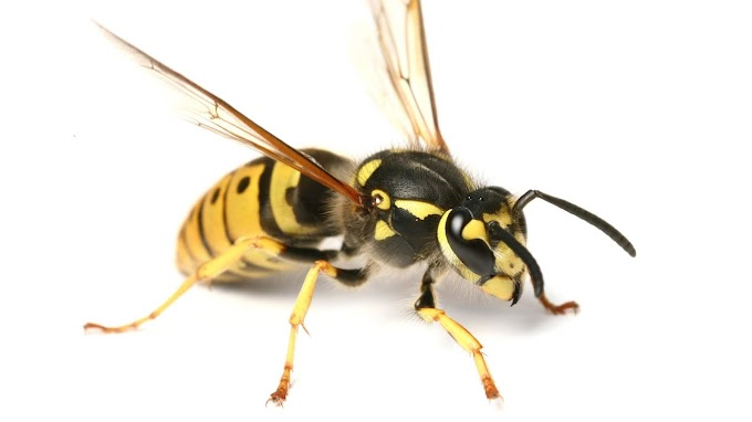 Show Wasps the Exit Route by using Wasp Removal Services