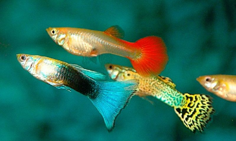 38. Jenis Ikan Hias Aquascape Guppy