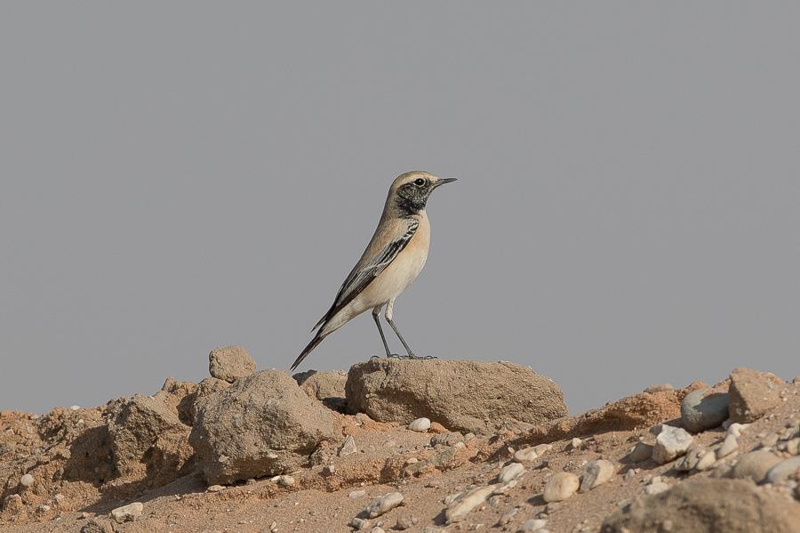 Desert Wheatear - male