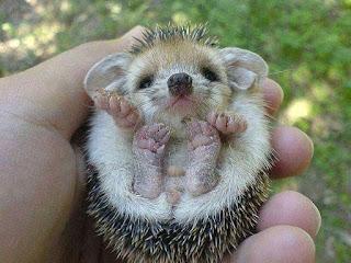 gambar anak landak mini imut