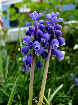May 18, 2018 Enjoying our grape hyacinth in our spring garden