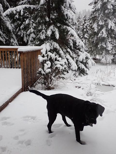 Black Labrador Dog in the Very White Snow