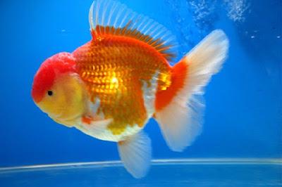 Gambar ikan mas Oeanda