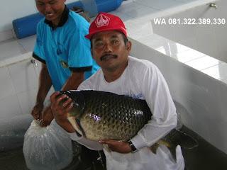 Umpan Serbuk Ikan Mas Rekomendasi Para Master