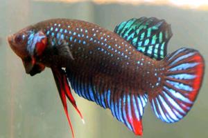 Ikan cupang padi/sawah