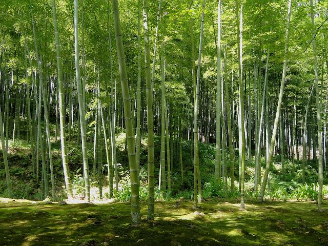Green Bamboo HD Wallpaper For Walls