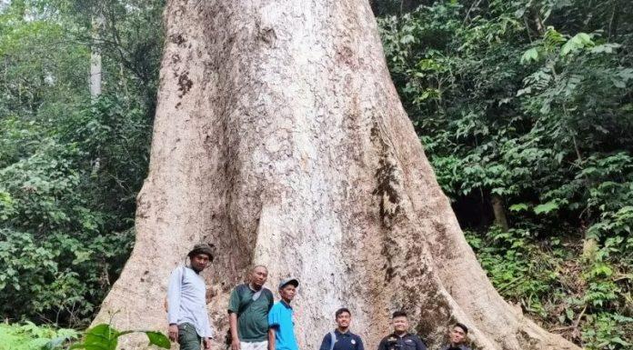Pohon Raksasa Ini Ada di Sumbar, Diduga Terbesar di Dunia