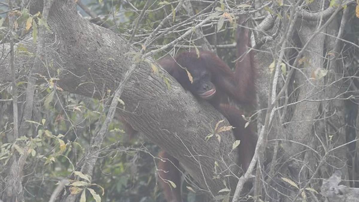 orangutan di pulau Kaja