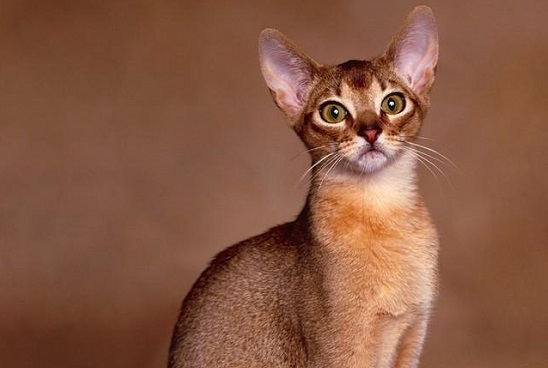 kucing yang mudah dipelihara