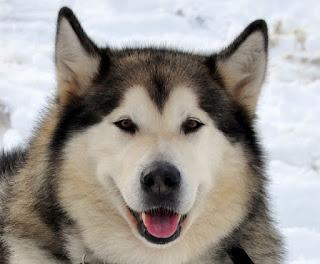 Anjing Salju Alaskan Malamute