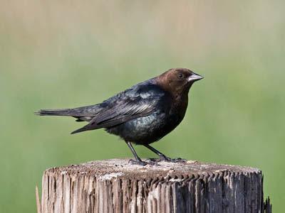 Photo of Brown-headed Cowbird on stump