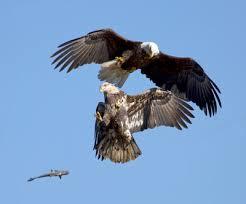 Águilas de cabeza blanca combatiendo
