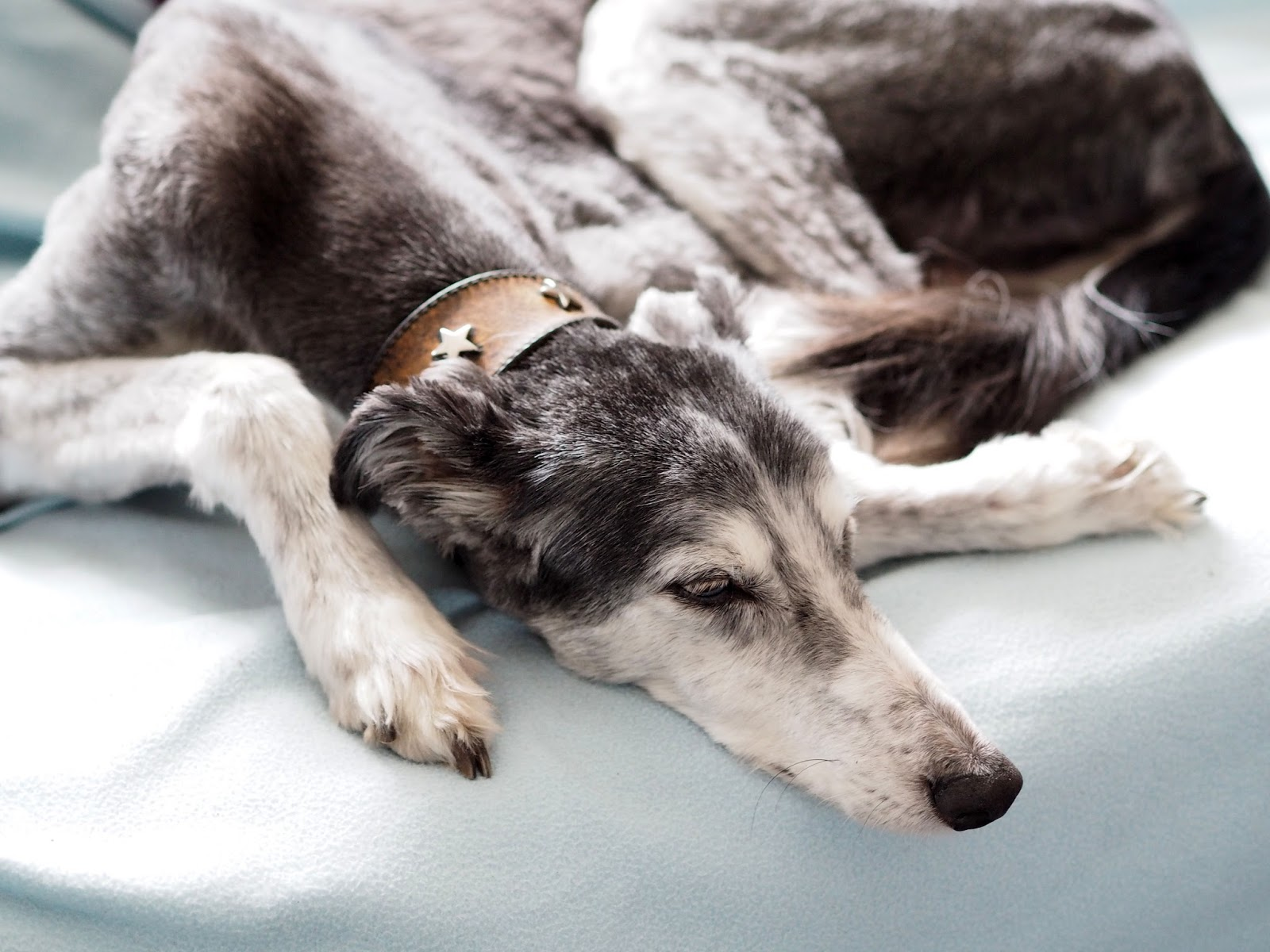 The love of a family dog - Saluki lurcher mix