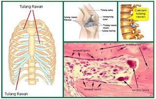 tulang rawan