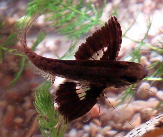 Pehobiis Berhasil Memijahkan Fresh Water Butterfly Fish