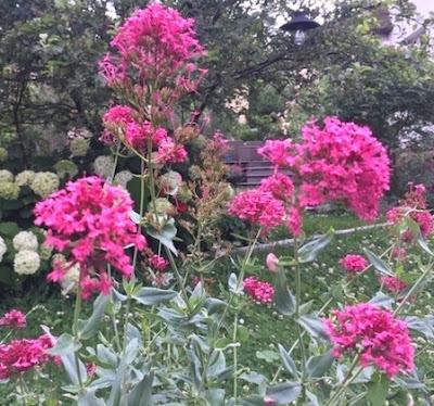 valeriane-fleur-champetre