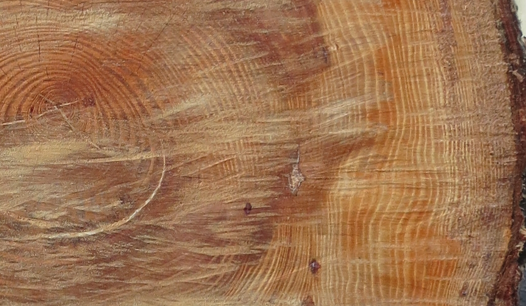 Section of the felled trunk of a Monterey Pine across the road from the tree we're following.