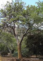 Wiliwili tree - Koko Crater Botanical Garden, Oahu, HI